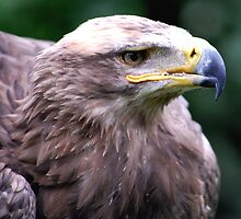Mir the Steppe Eagle by lisa1970