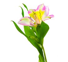Isolated lilly on white background. Photographic Print