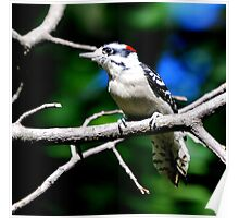 Downy Woodpecker... Poster