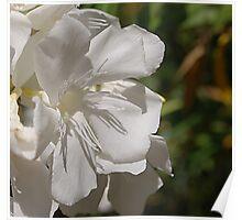 white oleander bloom in full sunlight Poster