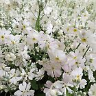 A Field of White Phlox by Marilyn Harris