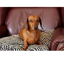 Portrait of a Dachshund Photographic Print