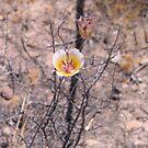 Red Rock Canyon - Wildflower by Luke Brannon