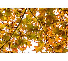 Under the Japanese Maple - Impressions Of Fall Photographic Print