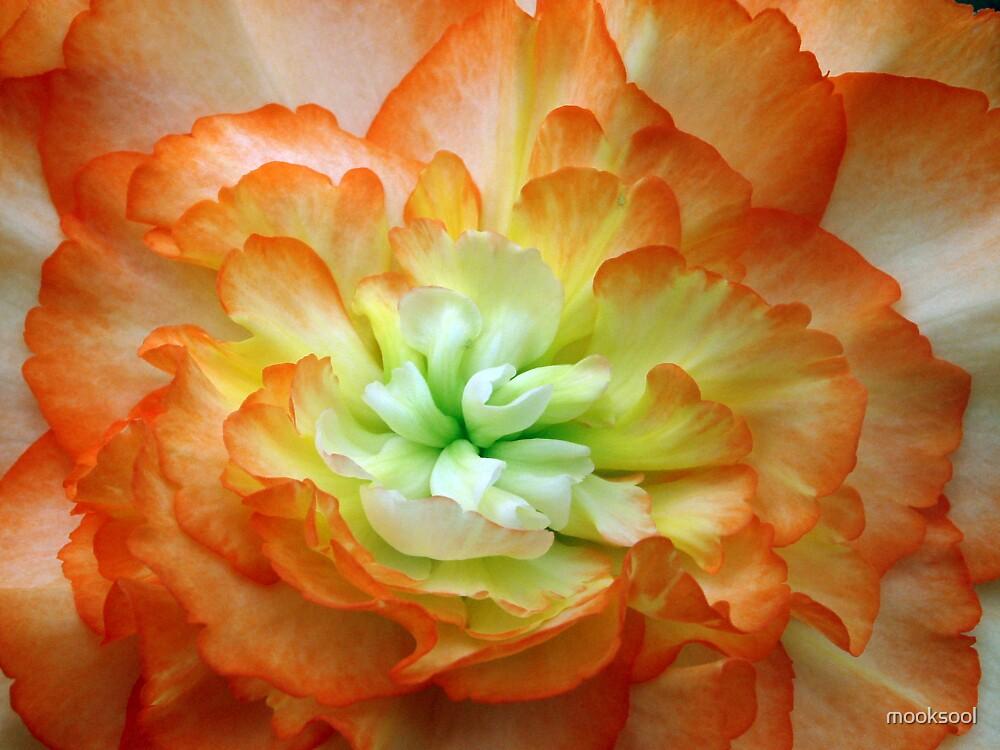 Begonia blush by mooksool