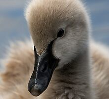 Cygnet by Adam Spence