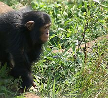 Young Chimp 2 by Rosie Appleton