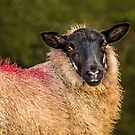 Dartmoor Sheep by Jane-in-Colour
