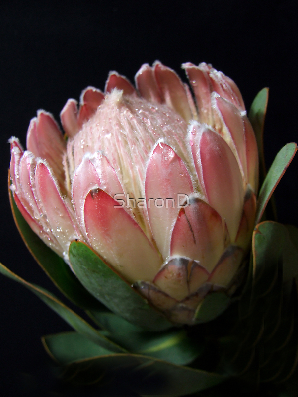 Quintessential Queen-Protea by SharonD
