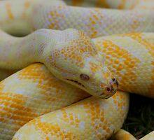 Albino Darwin Carpet Python by Steve Bullock