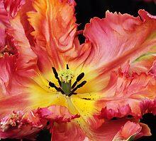 """Parkiet Tulipa (Parrot Tulip) """"Apricot Parrot"""" by Alison Cornford-Matheson"""