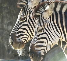 Zebras by David Bass