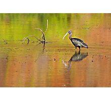 Glossy Ibis ~ Kimberley Colours #3  Photographic Print