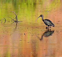 Glossy Ibis ~ Kimberley Colours #2  by Robert Elliott
