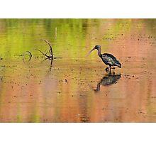 Glossy Ibis ~ Kimberley Colours #2  Photographic Print