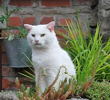 White cat  of Tintern - South Wales by 29Breizh33