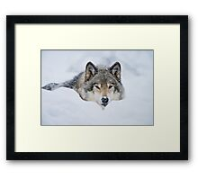Timber Wolf In Snow Framed Print