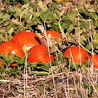 Pumpkin Patch by mnkreations