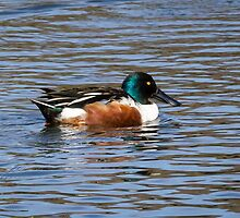 Northern Male Shoveler in Arizona by Robert Kelch, M.D.