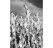 Corn Stalk in Black and White Photographic Print