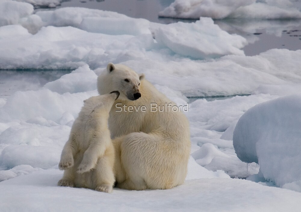 Polar Bear Cub & Mum by Steve Bulford