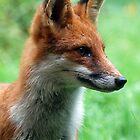 Rain drop fox by widge