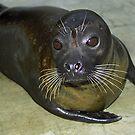 Harbor Seal by Kristin Nichole Hamm