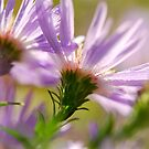 Aster-Backs by Lois  Bryan