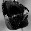 Black Tulip by Samantha Higgs