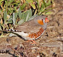 Zebra Finch by Robert Elliott
