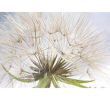 Giant dandelion Photographic Print
