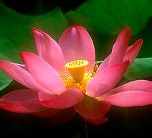 Lotus #44 by Janos Sison