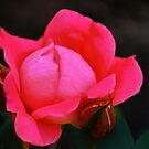 A Red Rose in the Garden by cclaude