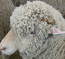 Don't pull the wool over my eyes by JuliaWright