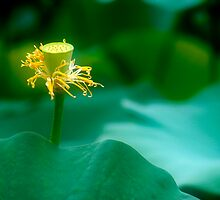 Lotus #49 by Janos Sison