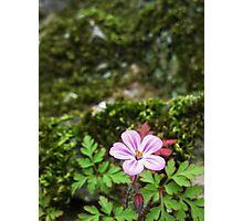 Pink Castle Flower - Helmsley Castle Photographic Print