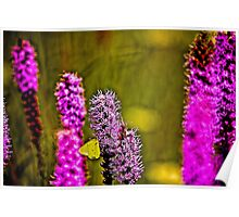 Prairie Blazing Star with Cloudless Sulphur Butterfly  Poster