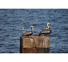 Three Pelicans Photographic Print