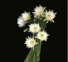 Night Blooming Cactus - cereus Photographic Print