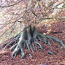 Malvern&#x27;s Best Beech by Tess Barnes