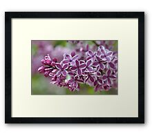 Two-Tone Lilacs Framed Print