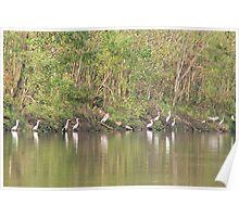 A Flock Of Egrets Poster