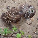 Burrowing Owl #1 by Virginia N. Fred