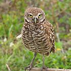 The Burrowing Owls Calendar  by Virginia N. Fred