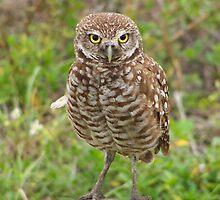 Burrowing Owl #4 by Virginia N. Fred