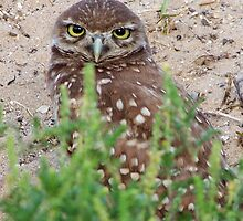 Burrowing Owl #6 by Virginia N. Fred