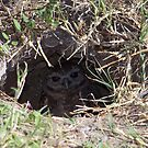Burrowing Owl #11 by Virginia N. Fred