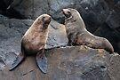 Australian Seals by Werner Padarin
