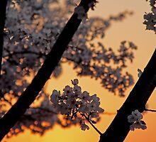 Cherry Blossoms by Terri~Lynn Bealle
