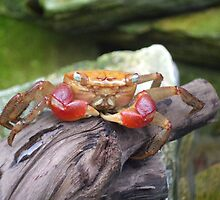 Hello Crab :) by Charming